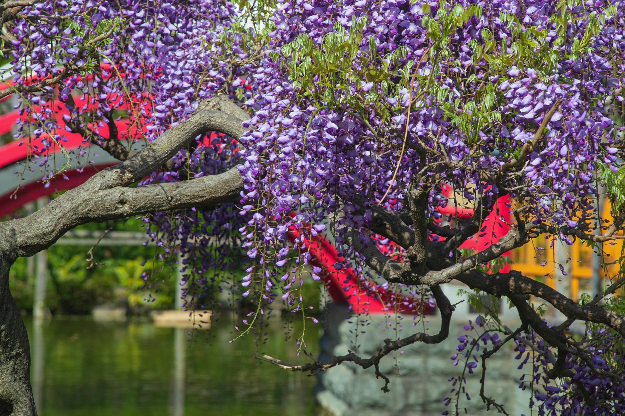 亀戸天神社と藤の花
