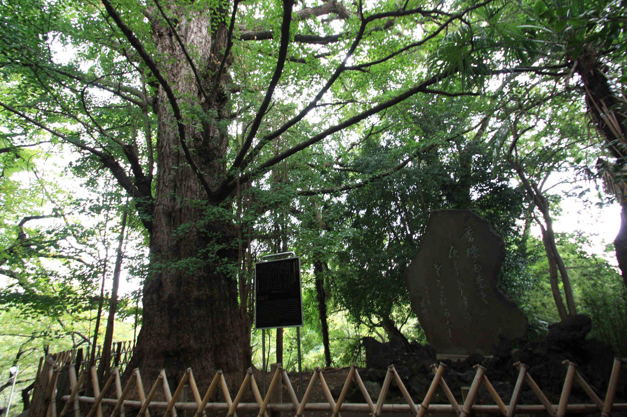 王子神社の大イチョウ