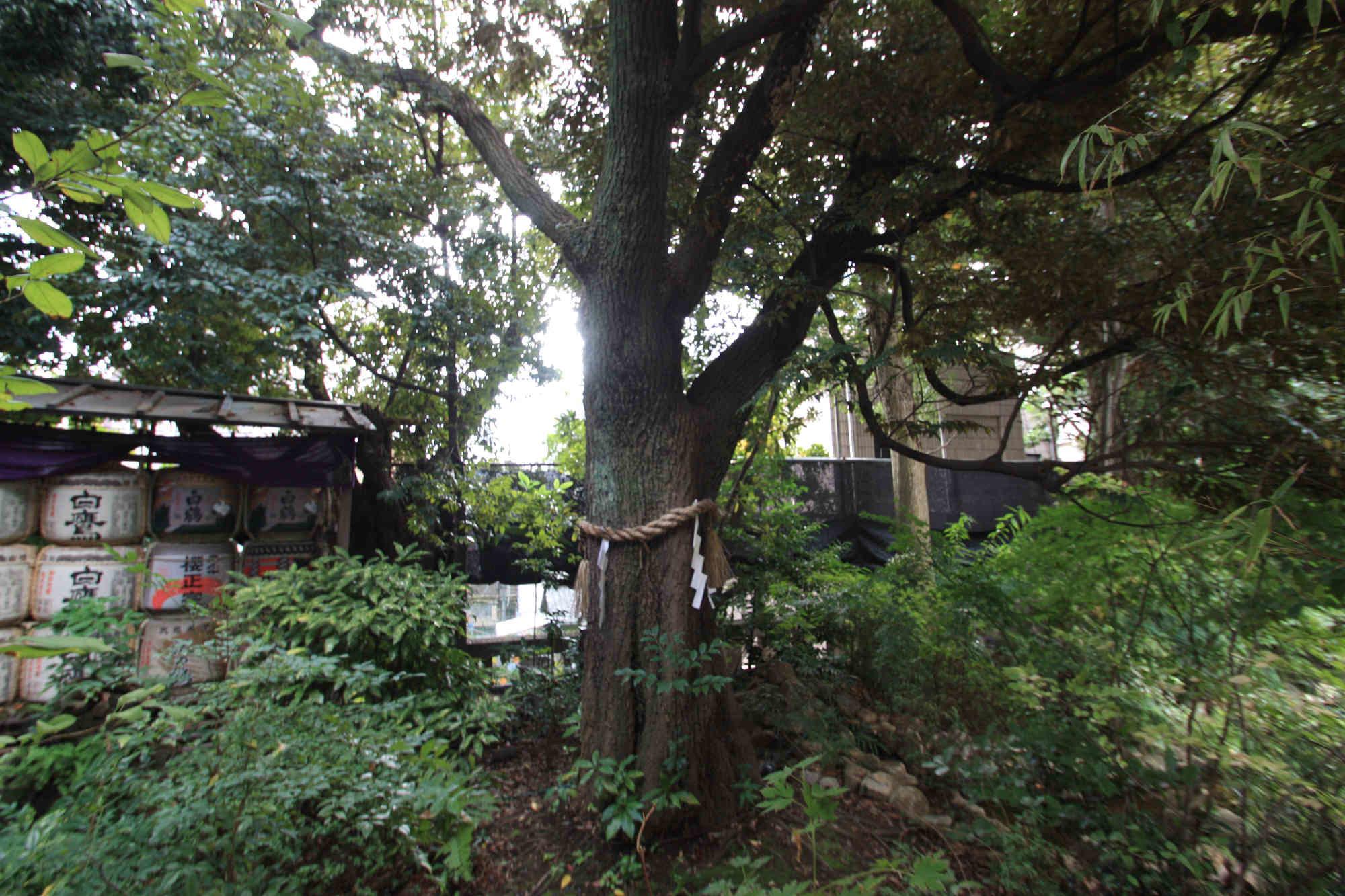 東京大神宮の御神木
