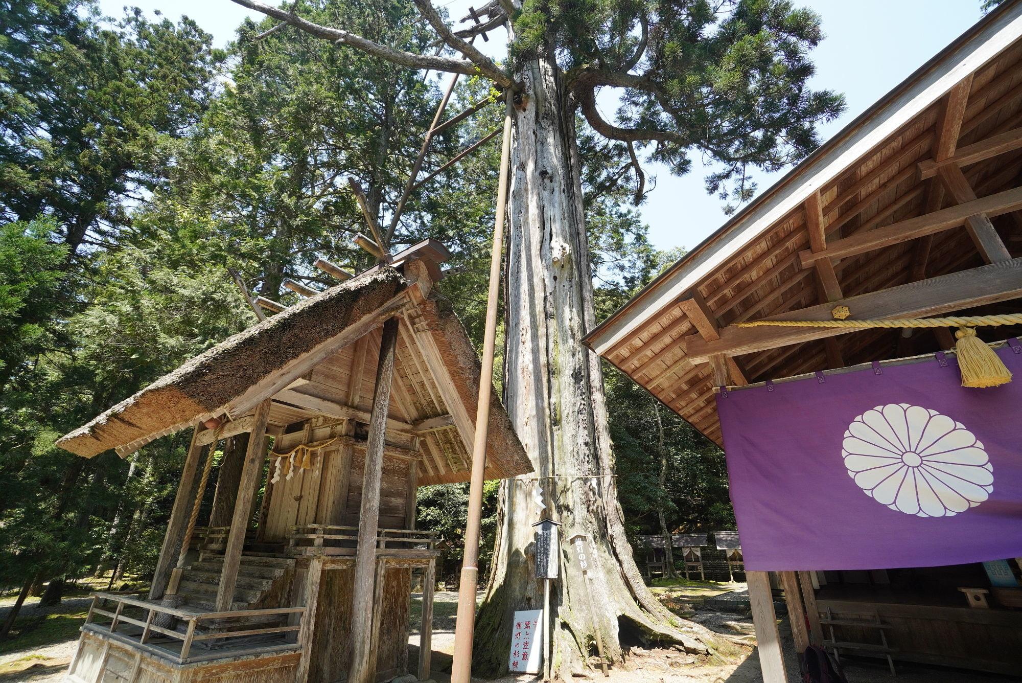 皇大神社の御神木