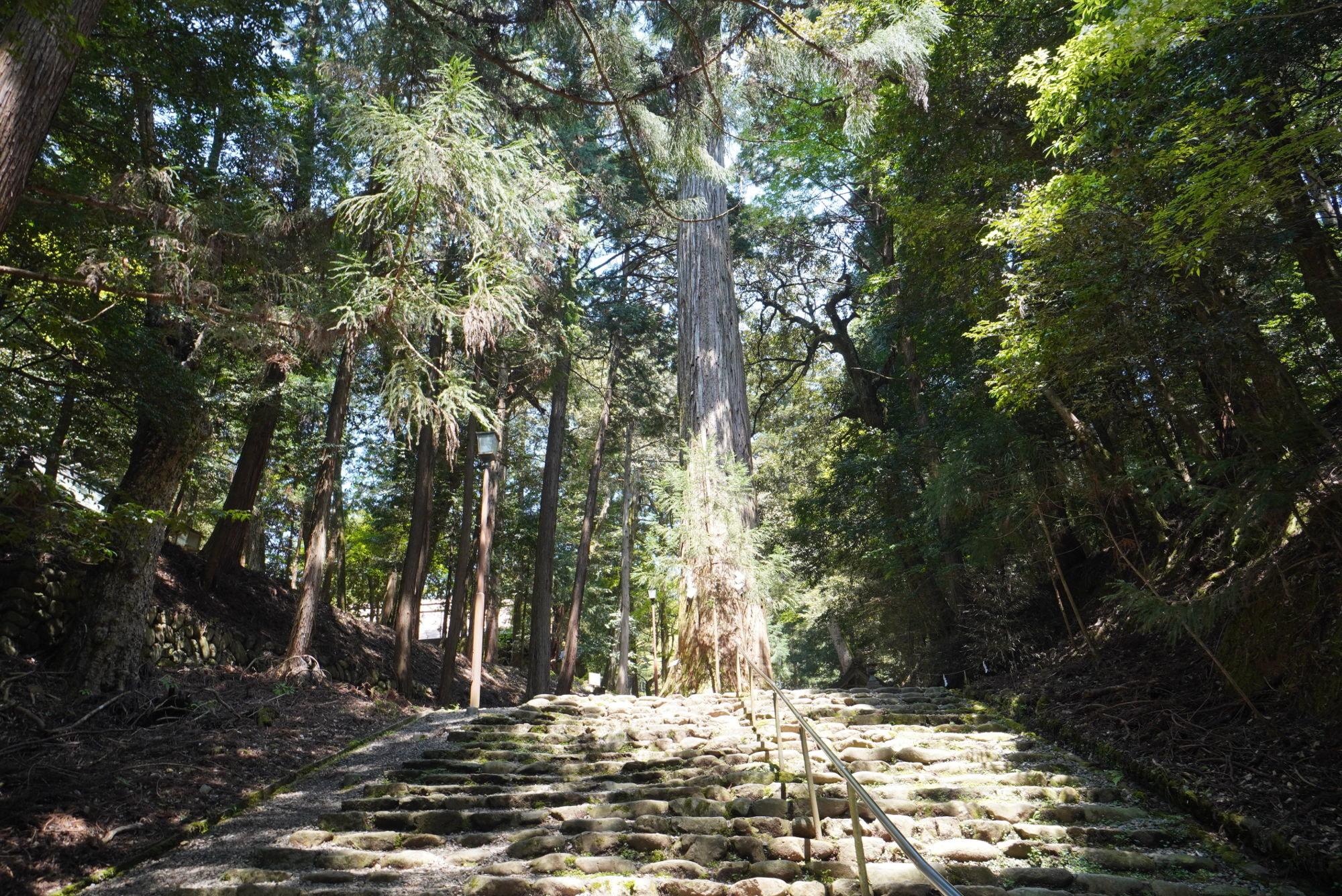 麻呂子親王手植えの杉