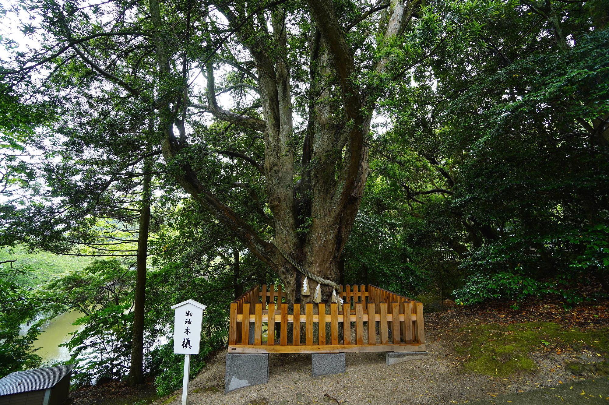 安房神社の御神木