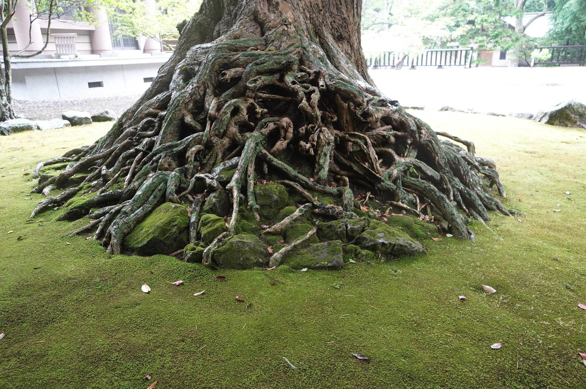 イチョウの木の根っこ