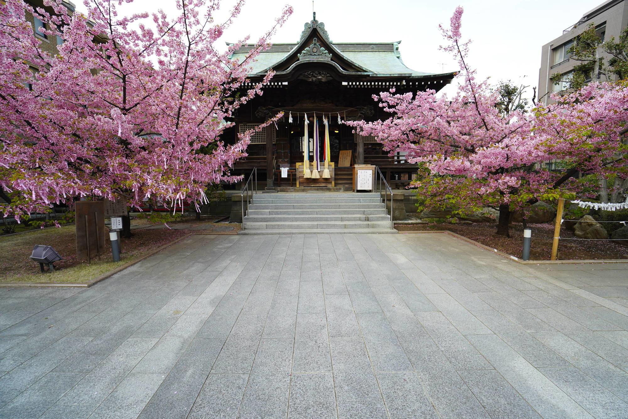 社殿(本殿)と河津桜