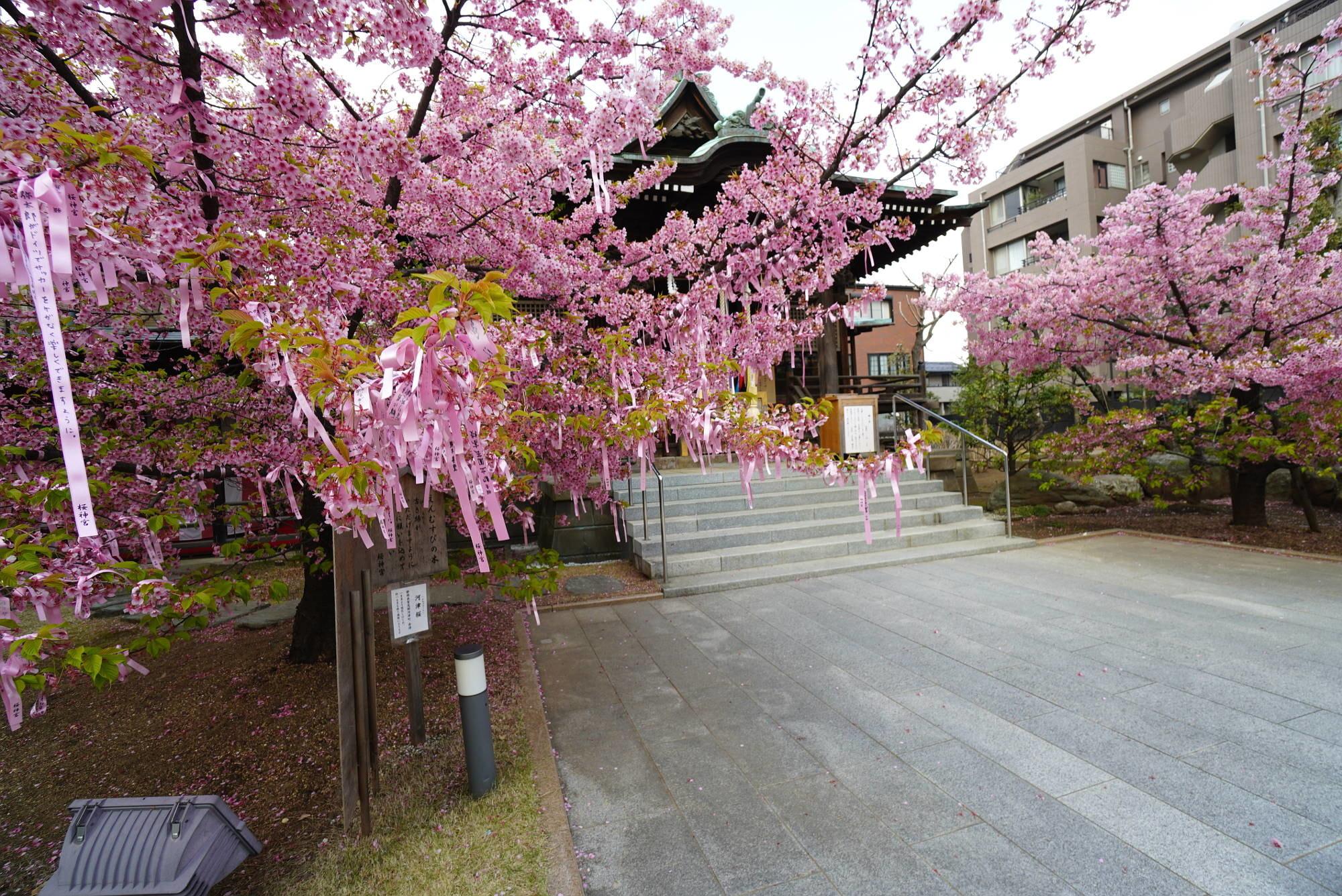 社殿(本殿)と河津桜(左から)