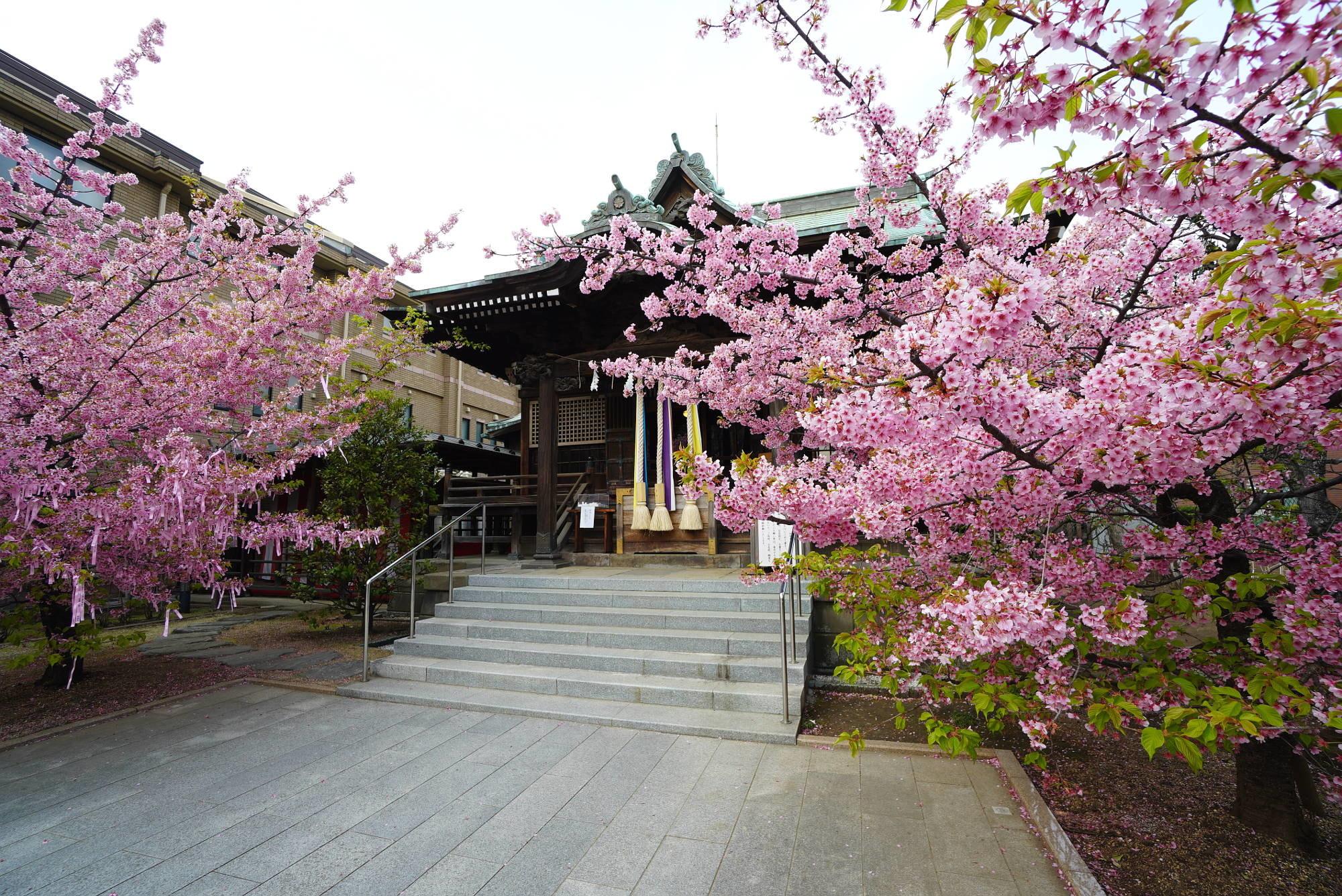 社殿(本殿)と河津桜(右から)
