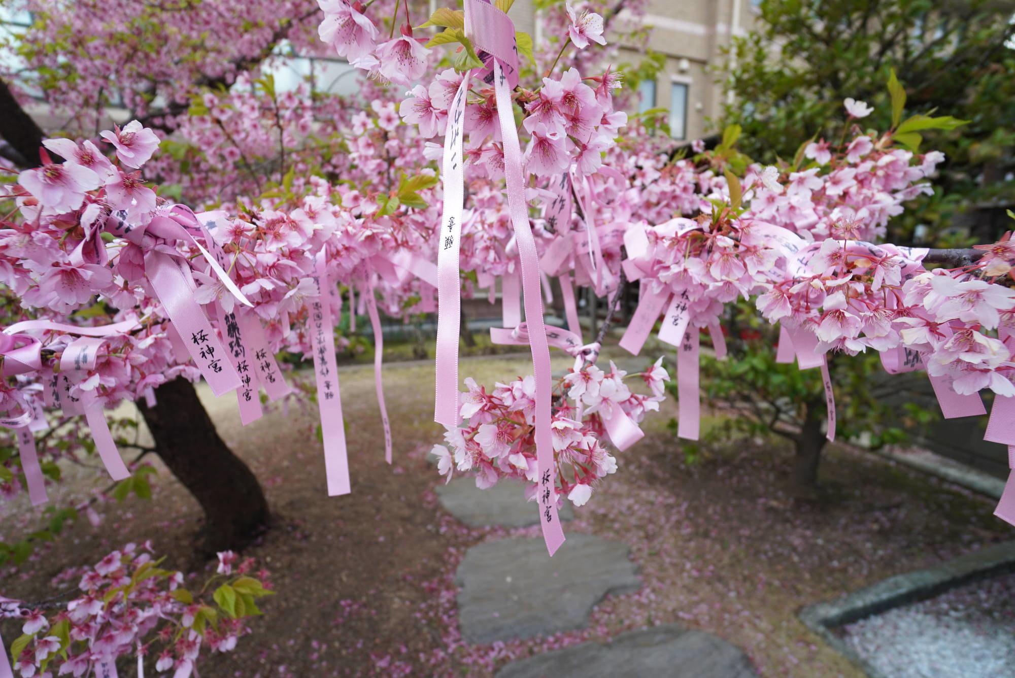 河津桜(えんむすびの木)