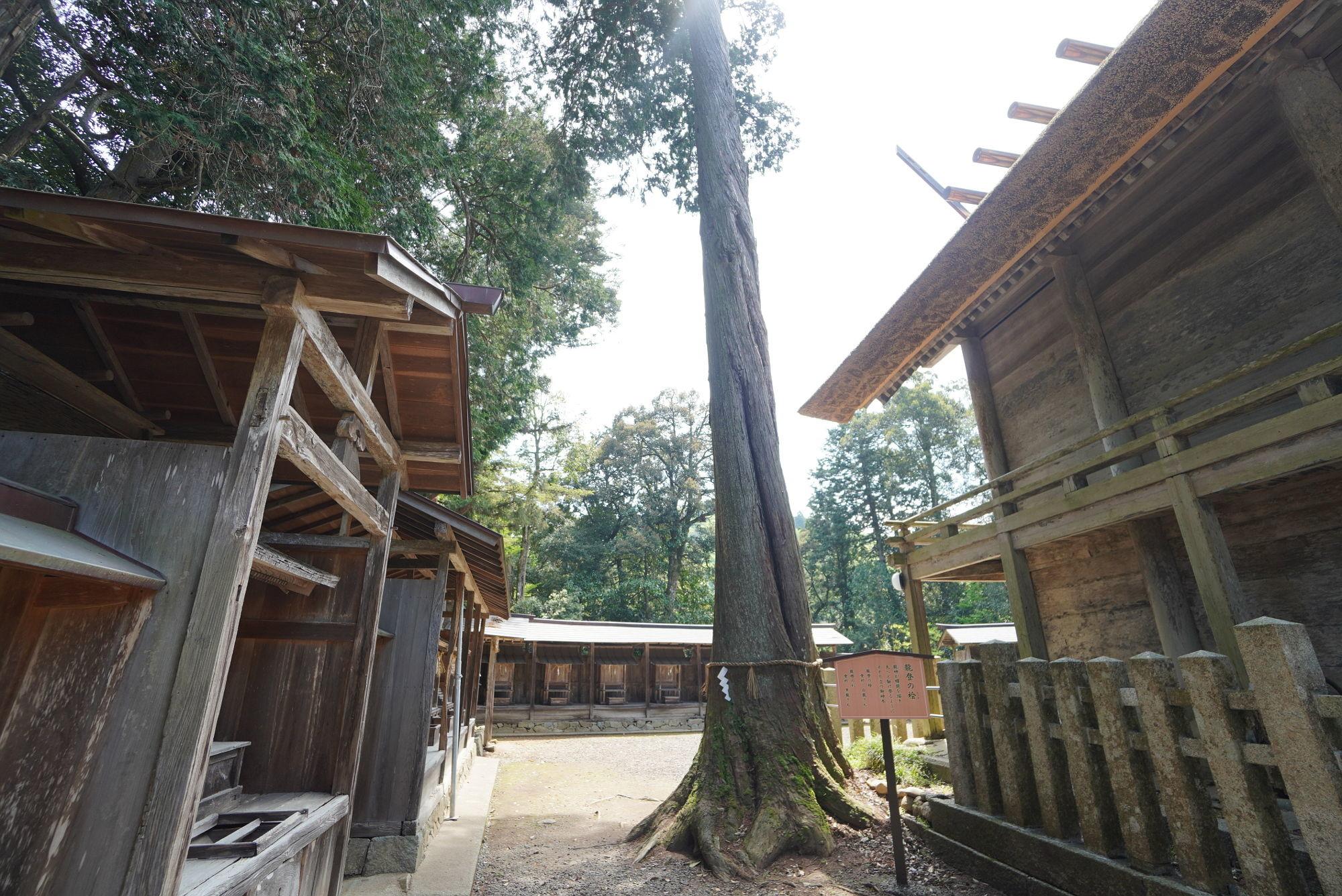豊受大神社の御神木(龍燈の桧)