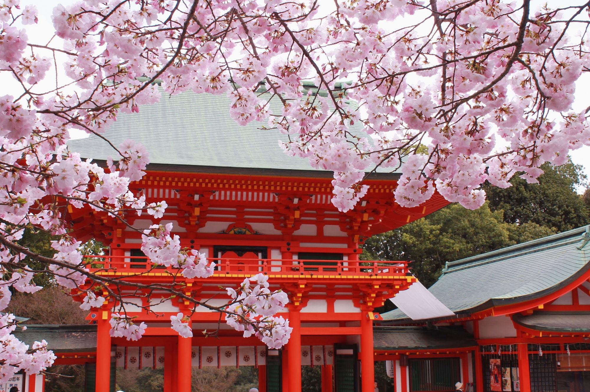近江神宮と桜(さくら)