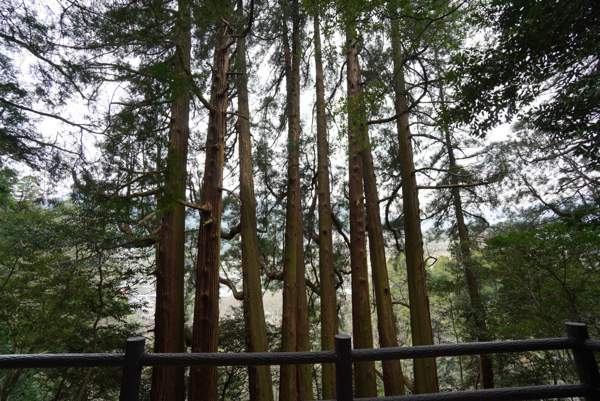 東本宮の七本杉