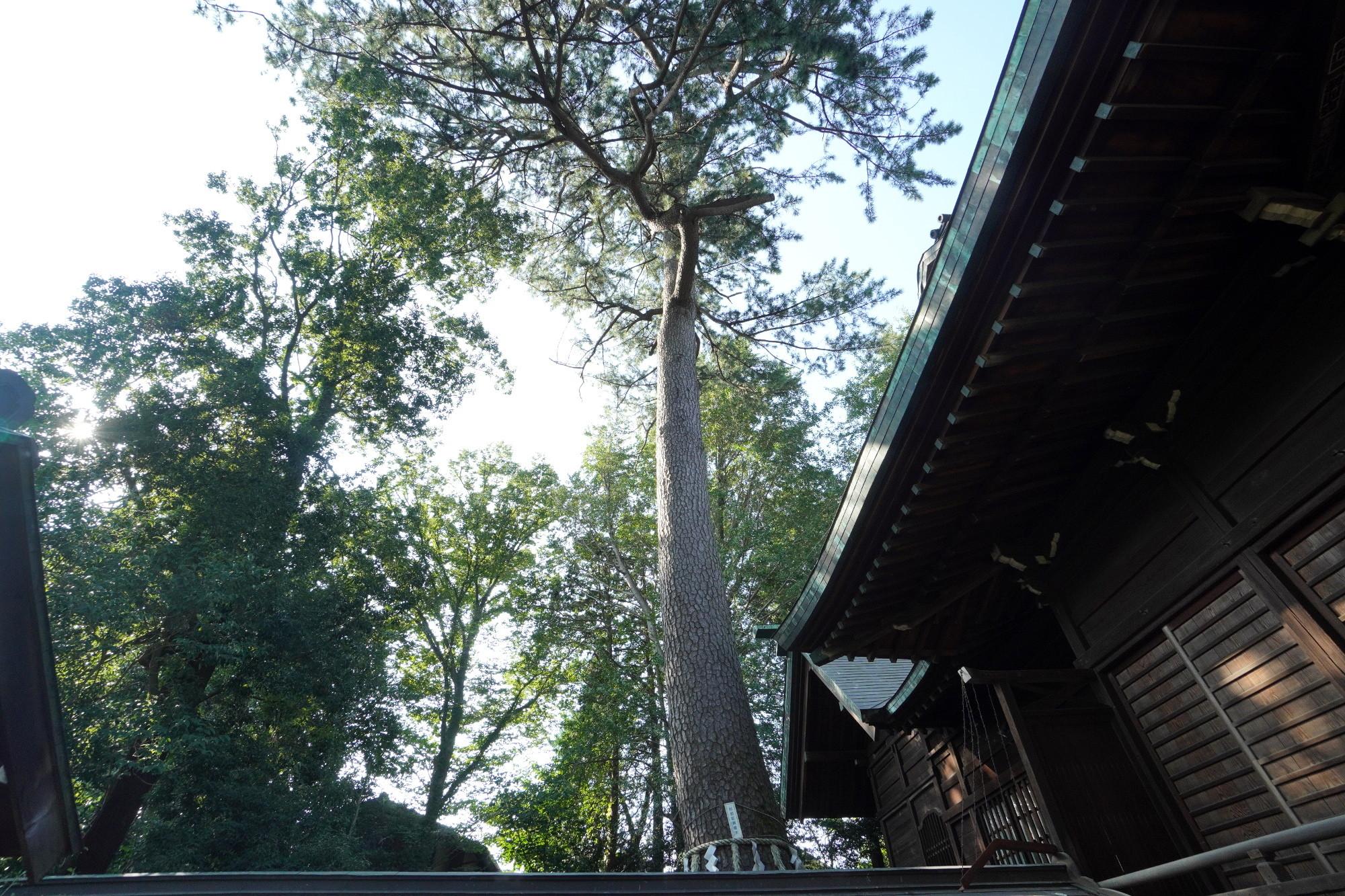 和泉熊野神社のご神木