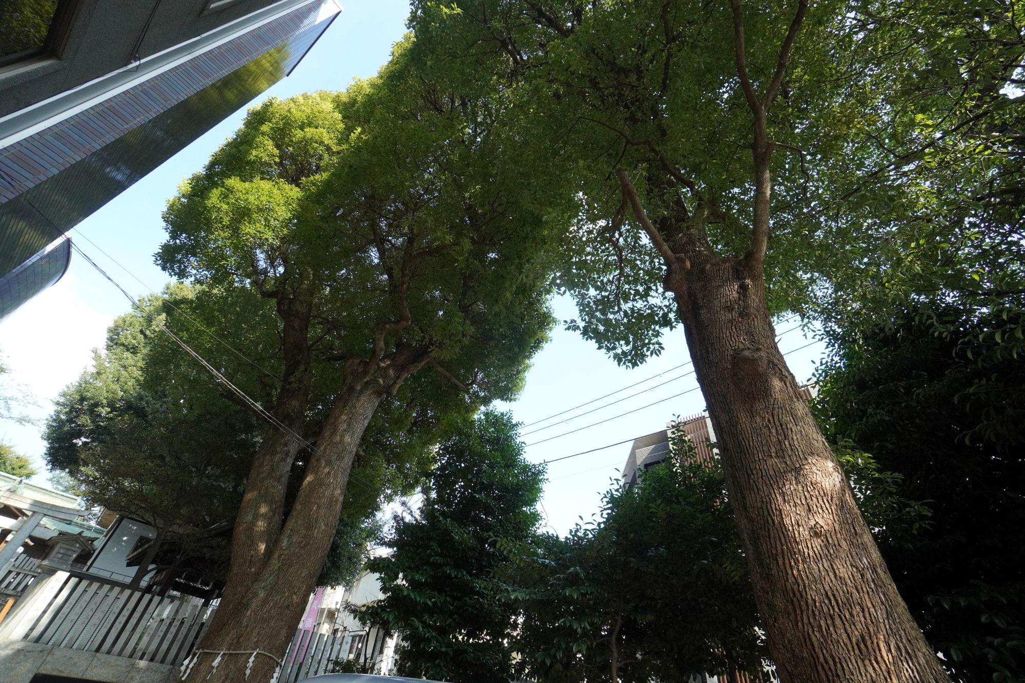 多田神社の御神木